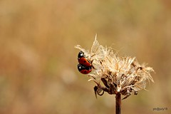Love Bugs. 7 spot ladybirds (pete Thanks for 3 Million Views Many thanks to eve) Tags: gosbecks hwcp canont5i carla task walk wickedweasel love bugs 7 spot ladybirds