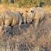 Rhinoceros dustup (sspike@rogers.com) Tags: rhinoceros white southafrica sabi kruger steverossi wildlife nature