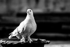 Untitled (Galib Emon) Tags: bird blackandwhite pigeon bangladesh explore flickr galibemon outdoor beauty bw monochrome canoneos7d chittagong animal life street dark thinkdifferent love white
