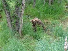 DSC07540 (jrucker94) Tags: alaska katmai katmainationalpark nationalpark bear bears grizzly grizzlybear brooksriver nature outdoors