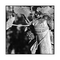grapes 3 • chenove, burgundy • 2016 (lem's) Tags: wine vineyard grape vin raisin grappe vignoble chenove burgundy bourgogne graflex speed graphic