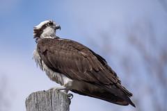 Osprey (NicoleW0000) Tags: osprey hawk birdofprey bird wildlife wildlifephotgraphy pose