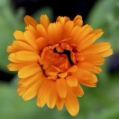 Unfurling .... a few more petals (Parowan496) Tags: calendula antiinflammatory antiviral herb orange petals unfurling