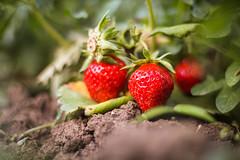Strawberries... (Hasan Yuzeir 📷) Tags: strawberry focus macro soil hasanyuzeir canon 1300d fruit