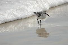 DSC_9917 (padraicsmeehan) Tags: beach sunandsurf sand birds coast longisland atlanticbeach ny newyork unitedstates usa america beachclub pipingplover charadriusmelodus shorebirds coastal southshore wading ocean atlanticocean