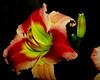 vivid (Uncle Tee TX) Tags: flash godox tt350s sony a7ii fe9028 macrog lily
