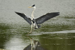 Grey Heron (Ardea cinerea) (Baldyal) Tags: bird bif water wildlife lake venuspool shropshire