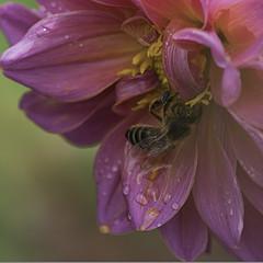 Dulce néctar (Cande G. de la Paz) Tags: dalia abeja drops flores nature bichos polen microfotografía