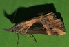 Mandalay Rhino horn Snout moth Dichromia quinqualis Hypeninae Noctuoidea Airlie Beach rainforest P1350972 (Steve & Alison1) Tags: mandalay rhino horn snout moth dichromia quinqualis hypeninae noctuoidea airlie beach rainforest