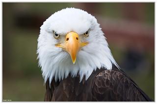 Bald eagle, eye contact.