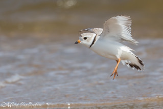 Piping Plover In Flight (Explored)