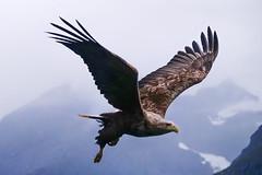 Seeadler (Olaf Traumflieger) Tags: eagle norway norwegen norge seeadler hjørundfjord