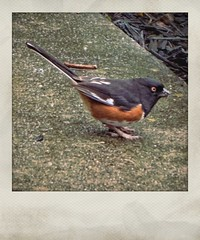Eastern Towhee Under Our Front Yard Feeders | Marietta, GA (steveartist) Tags: easterntowhee malebirds fakepolaroids instantapp snapseed concrete blackmulch telephoto sonydscwx220