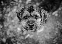 27/52 - Hello! (Kirstyxo) Tags: teddy cute dog portrait blackandwhite 2752 52weeksfordogs 52weeksfordogs18 52weeksfordogs2018