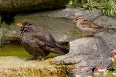 A very interested party! (Linda Martin Photography) Tags: female dorset wildlife nature bird sparrow blackbird uk animal naturethroughthelens coth alittlebeauty coth5 specanimal ngc npc