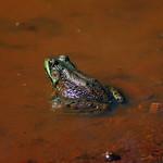 Green Frog thumbnail