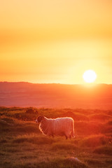 Stop Ramming Your Camera in My Face (Rich Walker75) Tags: ram sheep animal animals dartmoor devon landscape landscapes landscapephotography nature nationaltrust england sunset sun light canon efs1585mmisusm eos eos80d evening