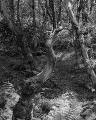 Broken Tree (Hyons Wood) (Jonathan Carr) Tags: ancient woodland rural northeast black white bw monochrome landscape 4x5 5x4 walkertitansf largeformat
