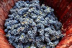 Trepitjar raïm (Angela Llop) Tags: winelovers catalonia penedes barcelona grape
