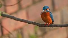 Common or Eurasian Kingfisher (Alcedo atthis) Savar, Dhaka, Bangladesh 2017 (Ricardo Bitran) Tags: alcedoatthis commonoreurasiankingfisher savar dhaka bangladesh