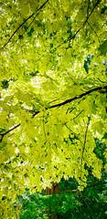 "Niagara Falls_196 (@dbhaffey) Tags: niagara niagarafalls ""niagara parks botanical gardens"" niagaraparksbutterflyconservatory tree trees branches sky niagaraonthelake dbhaffeysnapshots"