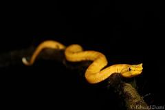 Eyelash viper (Bothriechis schlegelii) juvenile - golden phase (edward.evans) Tags: brauliocarrillonationalpark brauliocarrillo laselvabiologicalstation laselva centralvolcanicconservationarea sarapiquí sarapiqui costarica eyelashviper viper snake reptile squamata serpientes crotalinae pitviper bothriechisschlegelii bothriechis schlegelii oropel viperidae herp herping