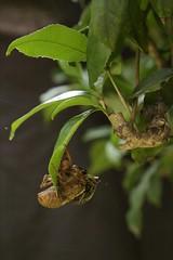 180720017 (murbozero) Tags: murbo japan cicada