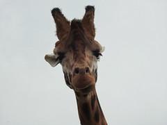 """Well hello down there"" (Simply Sharon !) Tags: giraffe animal yorkshirewildlifepark"