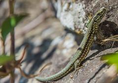 Wall lizard - Podarcis muralis (frattonparker) Tags: btonner bokeh depthoffield isleofwight lightroom6 nikond810 podarcismuralis raw tamron28300mm ventnor walllizard frattonparker