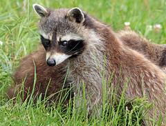 Raccoon Blijdorp JN6A8956 (j.a.kok) Tags: raccoon wasbeer animal blijdorp predator amerika america mammal zoogdier dier