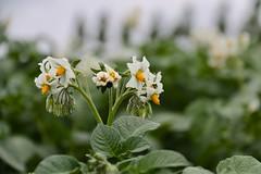 Aardappelen (Omroep Zeeland) Tags: aardappelen bloei natuur land