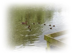 Mother makes Ten. (pete Thanks for 3 Million Views) Tags: ducklings mallard hwcp wickedweasel
