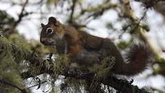 Red squirrel (pamfromcalgary) Tags: quebec animal rodent redsquirrel tadoussac