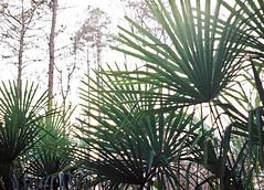 110 Film - Palmetto (Neal3K) Tags: 110film georgia henrycountyga lomotiger200film pentaxauto110 highkey filmgrain palmetto palm