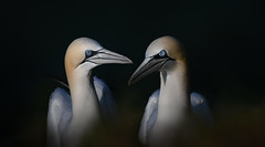 Bathed in Light (janinelee66) Tags: gannets yorkshire birds seabird northern bempton cliffs clifftop light sunlight sea white dark rspb two travel pair summer shadows blue nikon