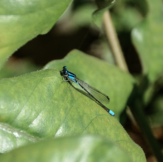 Acanthagrion lancea ♂ - Pond Damselfly / Celeste Wedgetail / Donzelinha (Selys, 1876)
