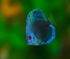 Discus Blue Diamond (Bojan Žavcer) Tags: discus blue diamond aquarium macro animal fish sonyilce7r fe90mmf28macrogoss symphysodonaequifasciatus ngc greatphotographers greaterphotographers