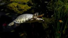 13082 (PhillipsVonNoog) Tags: animal animals tennessee aquarium reptile reptiles turtle turtles fly river pignose pig nosed pignosed carettochelys insculpta