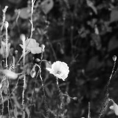Z pamiętnika wiśniowego (7) (e.c.szczepanski) Tags: bnw photography artphotography wiśniowa nature naturephotography bnwfilm landscape bugs lighting crops film filmphotography ecs ecszczepanski 2018 flickr fomapan 400iso