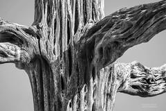 IMG_5617-Saguaro skeleton-black and white (Desert Rose Images) Tags: saguaro skeleton dead cactus tree black white arizonasonora desert museum zoo educational center wild
