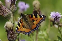 united colours of summer (blackfox wildlife and nature imaging) Tags: panasonicg80 leica100400 butterflies burtonmerewetlands rspb handheld