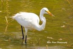 IMG_8651 (nitinpatel2) Tags: bird nature nitinpatel