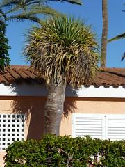 Tree (skumroffe) Tags: trees träd tree playadelinglés grancanaria islascanarias kanarieöarna spain spanien relaxialosgirasolesbungalows losgirasoles bungalows españa
