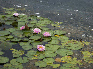 Belfield water lilies