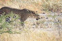 DSC_2550 (Andrew Nakamura) Tags: etosha namibia etoshanationalpark projectdragonfly earthexpeditions mammal bigcat felid leopard africanleopard animal wildlife