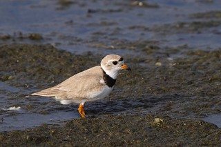 Piping Plover I