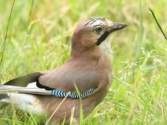 Jay - Bownham Park (glostopcat) Tags: jay bird corvid eurasianjay summer june glos stroud