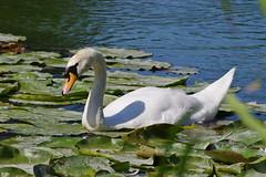 1489-11L (Lozarithm) Tags: caenhill devizes wilts swans k5 pentax sigma zoom 70300 sigmaaf70300mmf456apodgmacro justpentax