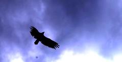 Buzzard overhead (jimsc) Tags: buzzard vulture turkeybuzzard soar fly coast desert sonorandesert arizona pimacounty summer july monsoon ngc black wildlife critter tucson catalina pentax k50 jimsc