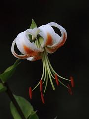 Speciosum Lily, 'Lady Alice' (jlcummins - Washington State) Tags: flower flora lily flowergarden washingtonstate yakimacounty